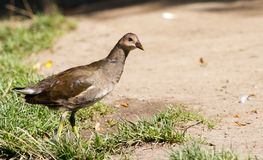 Common Moorhen Royalty Free Stock Images