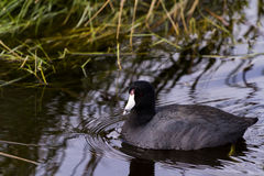 Common moorhen Stock Images