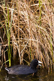 Common moorhen Royalty Free Stock Image