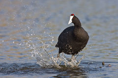 Common Moorhen. Splashing in water Royalty Free Stock Images