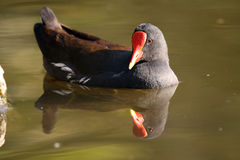Common Moorhen. Closeup of a Common Moorhen in a pond with a perfect reflection in the water Stock Image