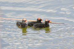 Common Moorhen Babies Royalty Free Stock Photo