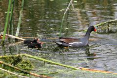 Common Moorhen With Babies Stock Photography