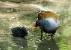 Common Moorhen and Baby Royalty Free Stock Photos