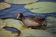 Common moorhen bird Gallinula chloropus. Forages for food in a marsh in Naples, Florida Stock Photos