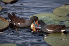 Common moorhen bird Gallinula chloropus. Forages for food in a marsh in Naples, Florida Stock Image