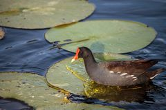 Common moorhen bird Gallinula chloropus. Forages for food in a marsh in Naples, Florida Stock Photography