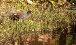 Common moorhen bird Gallinula chloropus. Forages for food in a marsh in Naples, Florida Stock Photo