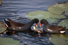 Common moorhen bird Gallinula chloropus. Forages for food in a marsh in Naples, Florida Royalty Free Stock Image