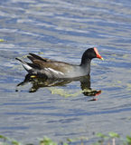 Common Moorhen Bird Stock Image