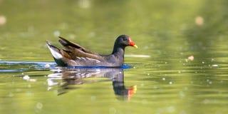 Common moorhen bird swimming in water Royalty Free Stock Image