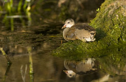 Common Moorhen Chick Royalty Free Stock Image