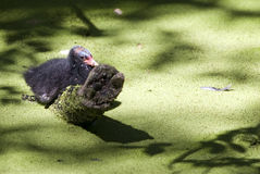 Common Moorhen chick alone in the pond. Common Moorhen chick (Gallinula chloropus) alone in the swamp of green algae Royalty Free Stock Image