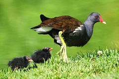 Common Moorhen and chicks Stock Photography