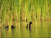 The common moorhen with ducklings in the reeds Royalty Free Stock Image