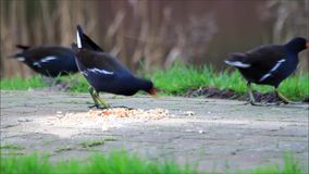 Common moorhen eating bread, Gallinula stock video footage