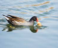 Common Moorhen eating a piece of bread Royalty Free Stock Image