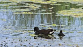 Common Moorhen or European Moorhen, gallinula chloropus, Adult with Chick eating Insects, Pond in Normandy, stock video