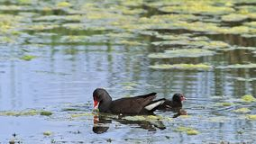 Common Moorhen or European Moorhen, gallinula chloropus, Adult with Chick looking for Fod, Pond in Normandy, stock footage