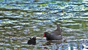 Common Moorhen or European Moorhen, gallinula chloropus, Adult with Chick, Pond in Normandy stock video footage