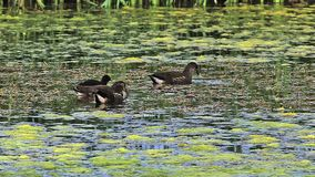 Common Moorhen or European Moorhen, gallinula chloropus, Immatures and Chick looking for Food, Pond in Normandy, stock video