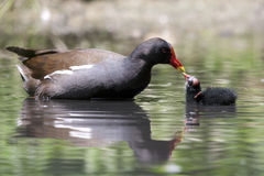 Common Moorhen feeding the chick in the pond. Common Moorhen chick (Gallinula chloropus) feeding the bald chick in the swamp Stock Images
