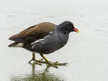 A common moorhen on a frozen lake Stock Photos