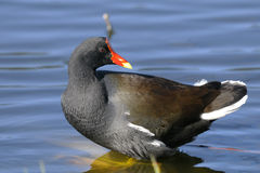 Common moorhen,  gallinula chloropus Royalty Free Stock Photography