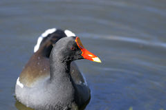 Common moorhen,  gallinula chloropus Royalty Free Stock Images