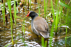 Common moorhen (Gallinula chloropus) Royalty Free Stock Images