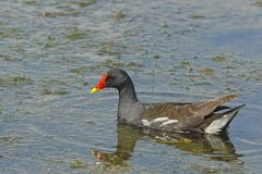 Common moorhen (Gallinula chloropus) Stock Image