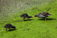 Common moorhen Gallinula chloropus Stock Photo