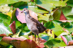 Common Moorhen Gallinula chloropus also known as the swamp chi Royalty Free Stock Photos