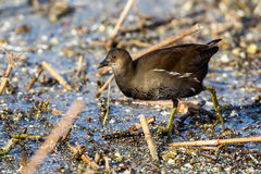 The common moorhen Gallinula chloropus also known as the swamp Royalty Free Stock Image