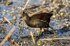 The common moorhen Gallinula chloropus also known as the swamp Stock Image