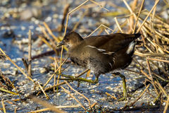 The common moorhen Gallinula chloropus also known as the swamp Stock Images