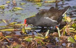 Common Moorhen (Gallinula chloropus). Royalty Free Stock Images