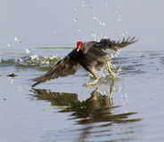 Common Moorhen (Gallinula chloropus) Stock Photography