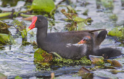 Common Moorhen (Gallinula chloropus) with a chick. Royalty Free Stock Photos