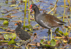 Common Moorhen (Gallinula chloropus) with a chick. Royalty Free Stock Photo