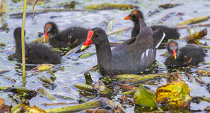 Common Moorhen (Gallinula chloropus) with chicks. Stock Photos