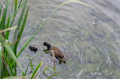 Common Moorhen Gallinula chloropus coot feeding its chick.They stock image
