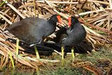 Common Moorhen (Gallinula chloropus) Royalty Free Stock Photography