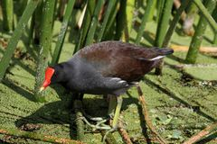 Common Moorhen (Gallinula chloropus) Royalty Free Stock Photo