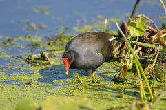 Common Moorhen (Gallinula chloropus) Royalty Free Stock Image