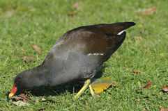Common Moorhen Stock Image