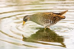 A Common Moorhen Gallinula chloropus looking for food in the water.  Stock Image