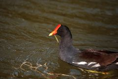 Common Moorhen Gallinula chloropus in the marsh. At Lakes Park in Fort Myers, Florida Stock Image