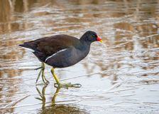 Common Moorhen - Gallinula chloropus walking on a frozen pool. stock photos