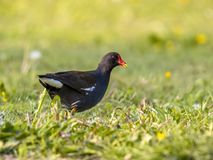 Common moorhen walking in green grass Stock Photos